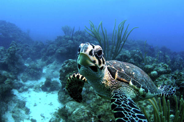 British Virgin Islands Photograph - Happy Hawksbill Turtle by Armando F. Jenik