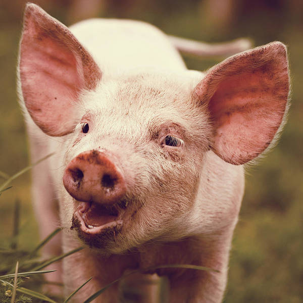 Pig Photograph - Happy Little Piglet by Liesel Conrad