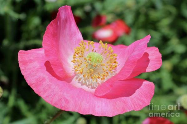 Photograph - Happy Pink Poppy by Carol Groenen