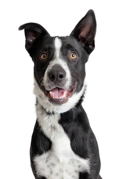 Wall Art - Photograph - Happy Smiling Border Collie Crossbreed Dog Closeup by Susan Schmitz