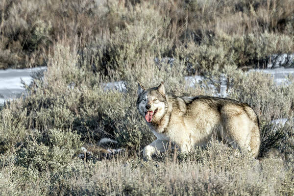 Photograph - Happy Wolf by Ronnie and Frances Howard