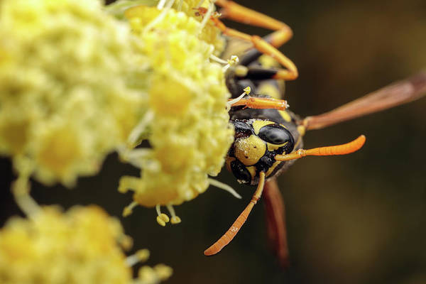 Photograph - Happy Yellowjacket by Brian Hale