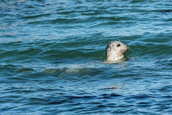Photograph - Harbor Seal On Top by Robert Potts