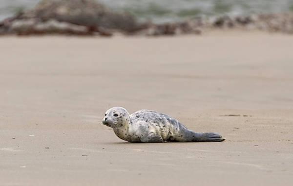 Photograph - Harbor Seal Pup by Loree Johnson