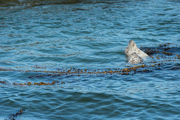 Photograph - Harbor Seals And Seaweed by Robert Potts