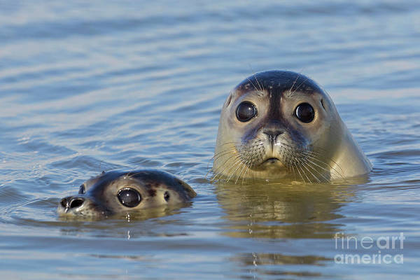 Photograph - Harbor Seals by Arterra Picture Library