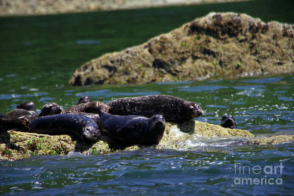 Wall Art - Photograph - Harbor Seals On The Rocks by Jeff Swan
