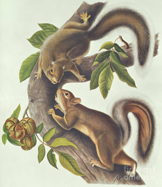 Wall Art - Painting - Hare Squirrel Sciurus Leoporinus by John James Audubon