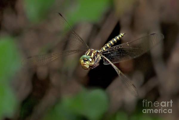 Photograph - Harlequin Darner Dragonfly Gomphaeschna Furcillata Wil by Dave Welling