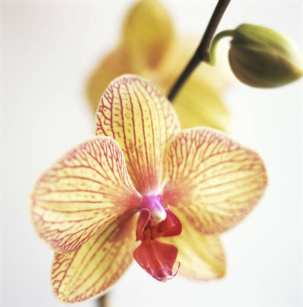 Cut Out Photograph - Harlequin Phali Flower by Anthony-masterson
