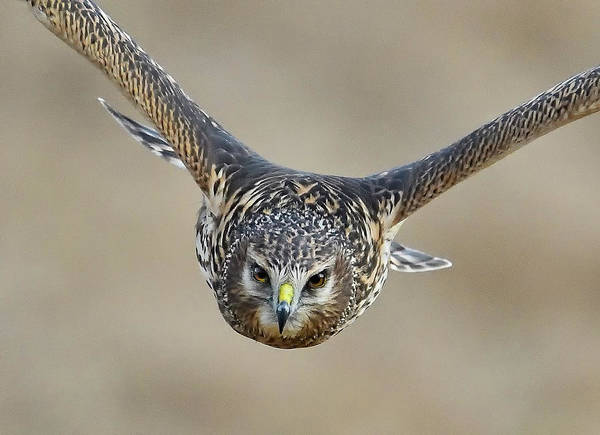 Harrier Photograph - Harrier Eye-to-eye by William Jobes