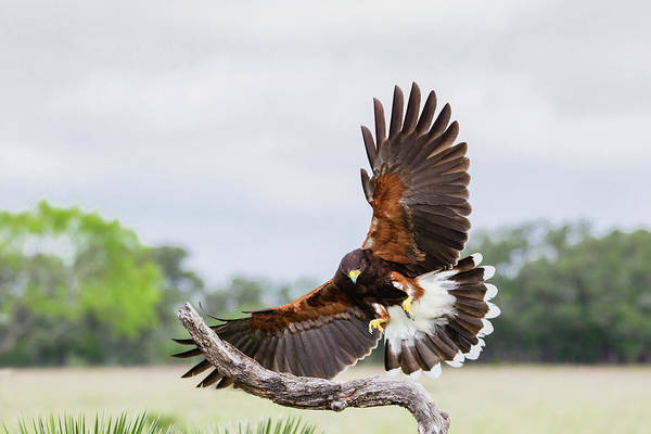 Wall Art - Photograph - Harris's Hawk Landing by Larry Ditto