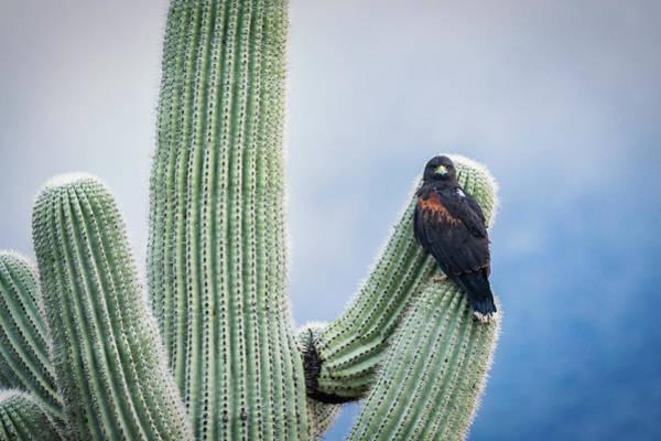 Wall Art - Photograph - Harris's Hawk On A Saguaro  by Saija Lehtonen