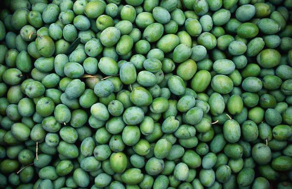 Napa Valley Photograph - Harvest Of Green Sevillana Olives, Napa by Roberto Gerometta