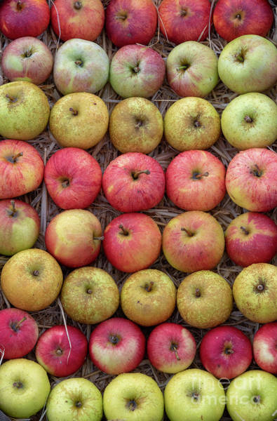 Photograph - Harvested Autumn Apples by Tim Gainey