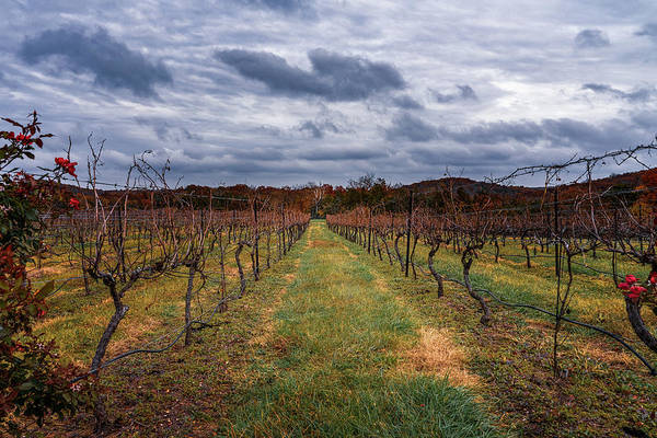 Photograph - Harvested Grapevines by Robert FERD Frank