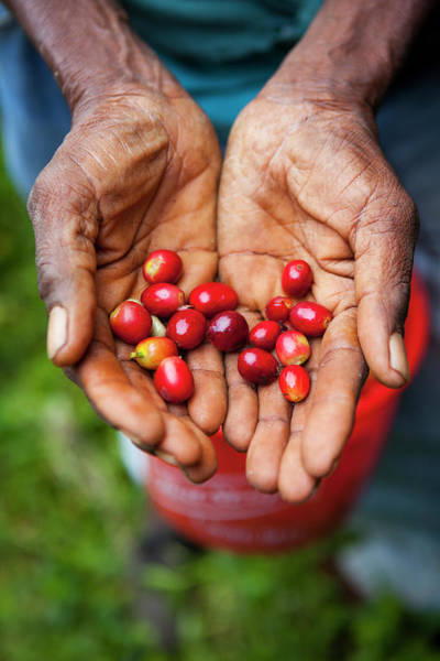 Manual Focus Wall Art - Photograph - Harvesting Blue Mountain Coffee Beans by Douglas Pearson