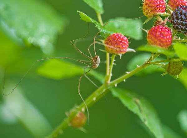 Wall Art - Photograph - Harvestman by Michael Lustbader