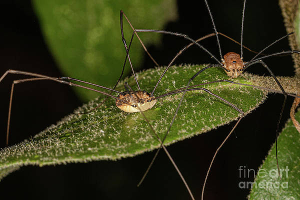 Photograph - Harvestman Spider by Brian Roscorla