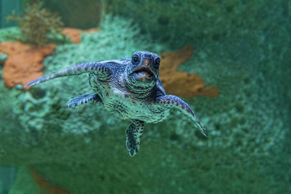 Underwater Camera Photograph - Hatchling Loggerhead Swimming by Melinda Moore