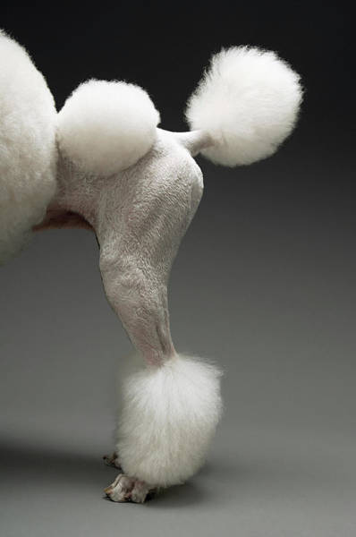 Poodle Photograph - Haunches Of Poodle, On Grey Background by Moodboard