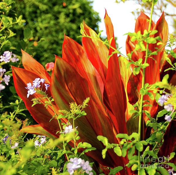 Photograph - Hawaii Ti Leaf Plant by D Davila