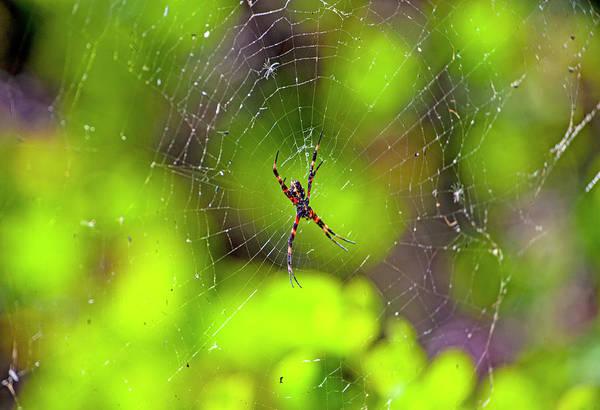 Photograph - Hawaiian Garden Spider by Anthony Jones