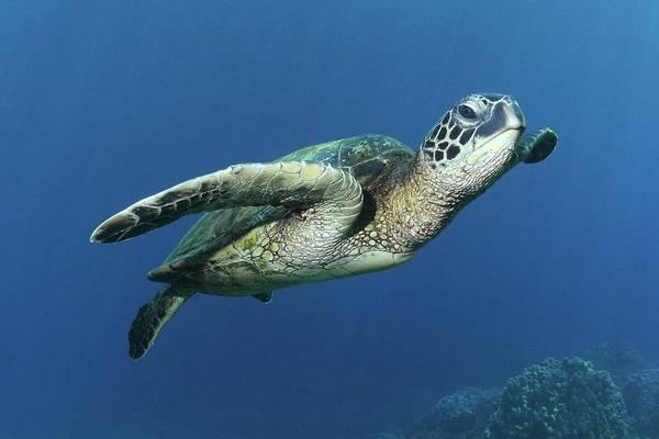 Big Island Photograph - Hawaiian Green Sea Turtle by Photo By Barry Fackler