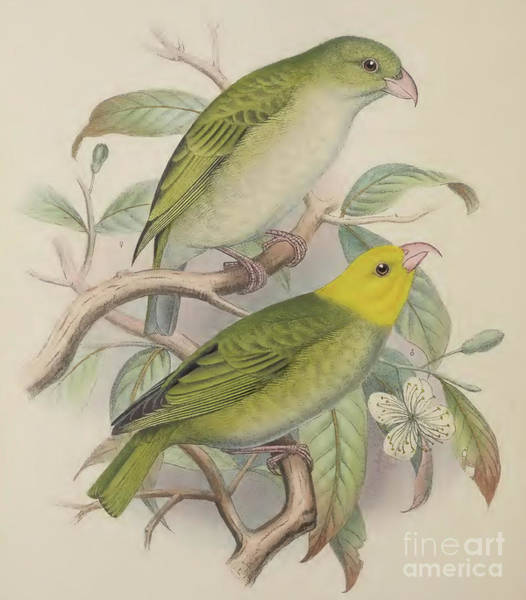 Tropical Drawing - Hawaiian Honeycreeper by Frederick William Frohawk