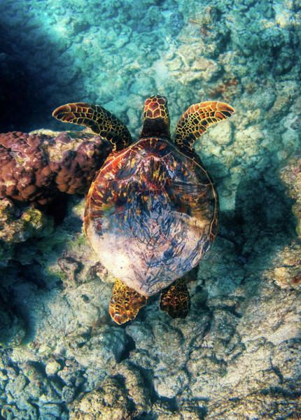 Green Sea Turtle Photograph - Hawaiian Honu by Christopher Johnson