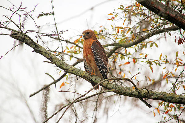 Photograph - Hawk In Deep Thought by Cynthia Guinn
