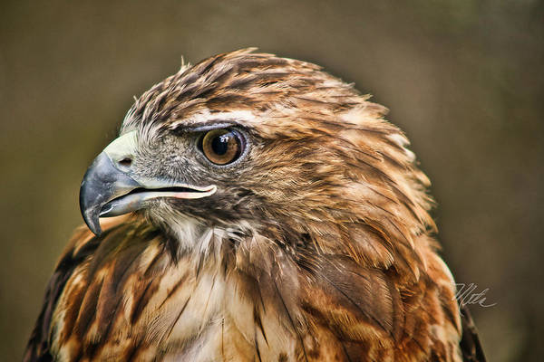 Photograph - Red-tailed Hawk by Meta Gatschenberger