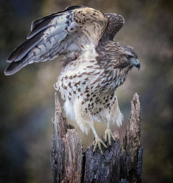 Photograph - Hawk  by Richard Kopchock