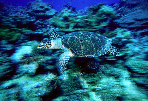 Hawksbill Sea Turtle, Maldives Art Print by Stuart Westmorland