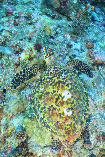Wall Art - Photograph - Hawksbill Sea Turtle, North Huvadhoo by Stuart Westmorland