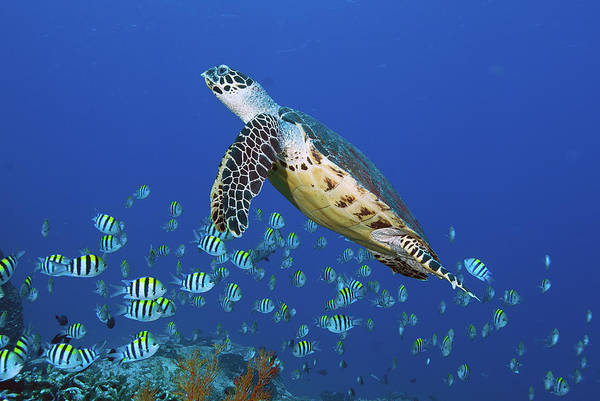 Hawksbill Turtle Photograph - Hawksbill Turtle And Schooling Sergeants by Jones/shimlock-secret Sea Visions