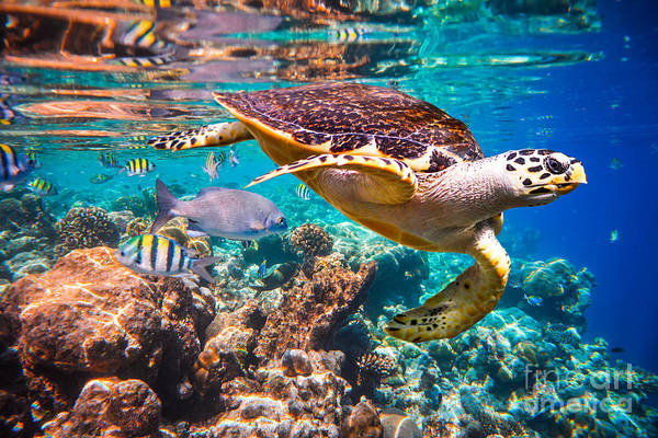 Ecosystem Wall Art - Photograph - Hawksbill Turtle - Eretmochelys by Andrey Armyagov