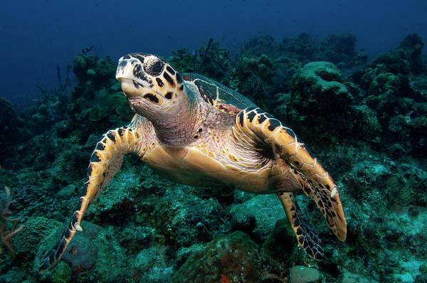 Turks And Caicos Islands Wall Art - Photograph - Hawksbill Turtle Eretmochelys Imbricata by Dickson Images