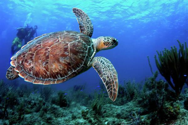 British Virgin Islands Photograph - Hawksbill Turtle In Flight by Armando F. Jenik