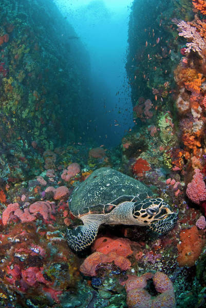 Hawksbill Turtle Photograph - Hawksbill Turtle On Reef by Jones/shimlock-secret Sea Visions