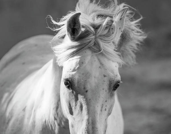 Andalusian Stallion Wall Art - Photograph - Head And Mane Of Grey Andalusian Stallion, Spain by Carol Walker / Naturepl.com