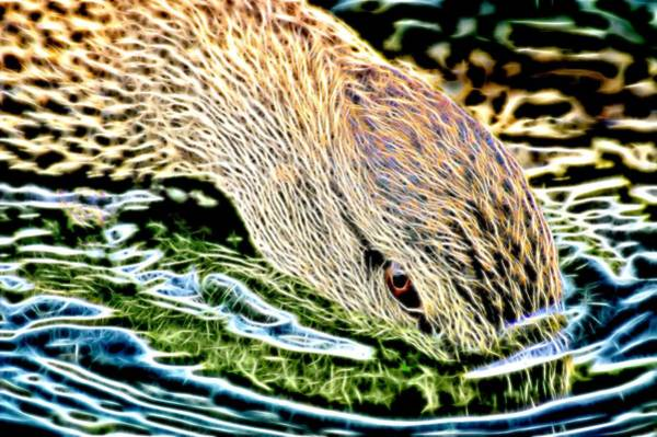Photograph - Head Dunking Duck Electric by Don Northup