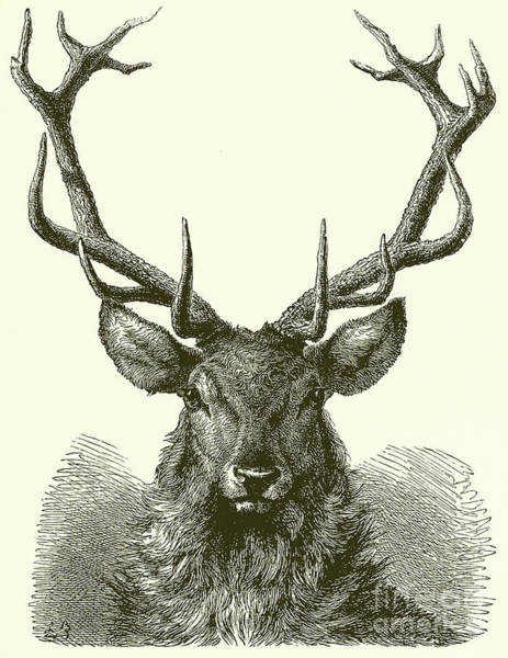 Antlers Drawing - Head Of A Male Red Deer by English School