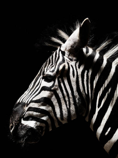 Animal Head Photograph - Head Of A Zebra by Henrik Sorensen