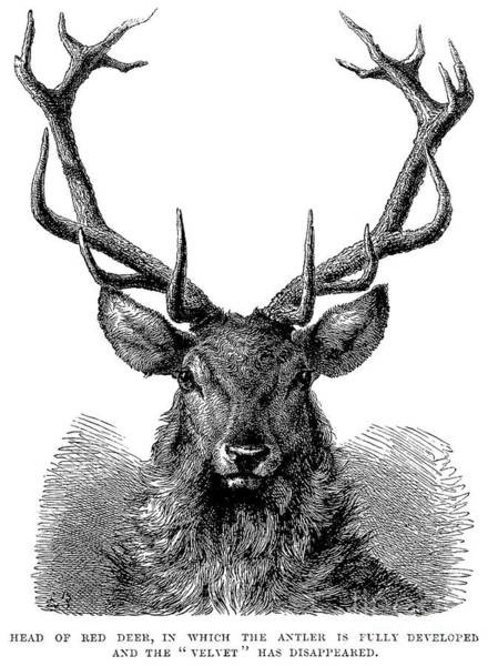 Antlers Drawing - Head Of Red Deer, In Which The Antler Is Fully Developed And The Velvet Has Disappeared  by English School