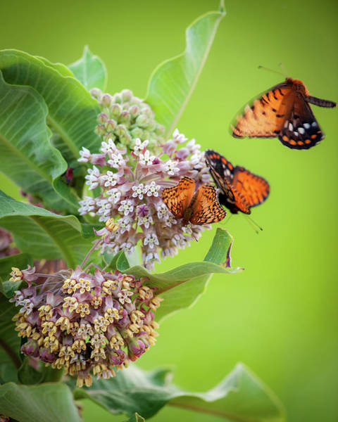 Photograph - Head Over Heals For Milkweed by Jeff Phillippi
