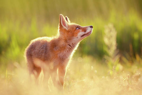 Cute Overload Photograph - Head Up High - Young And Eager Fox Kit by Roeselien Raimond