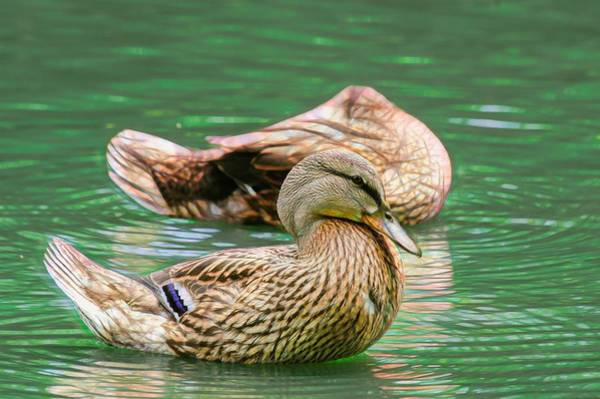 Photograph - Headless Honey Duck Contrasty by Don Northup