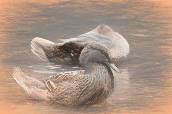 Photograph - Headless Honey Duck Da Vinci by Don Northup