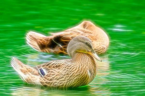 Photograph - Headless Honey Duck Fibers by Don Northup